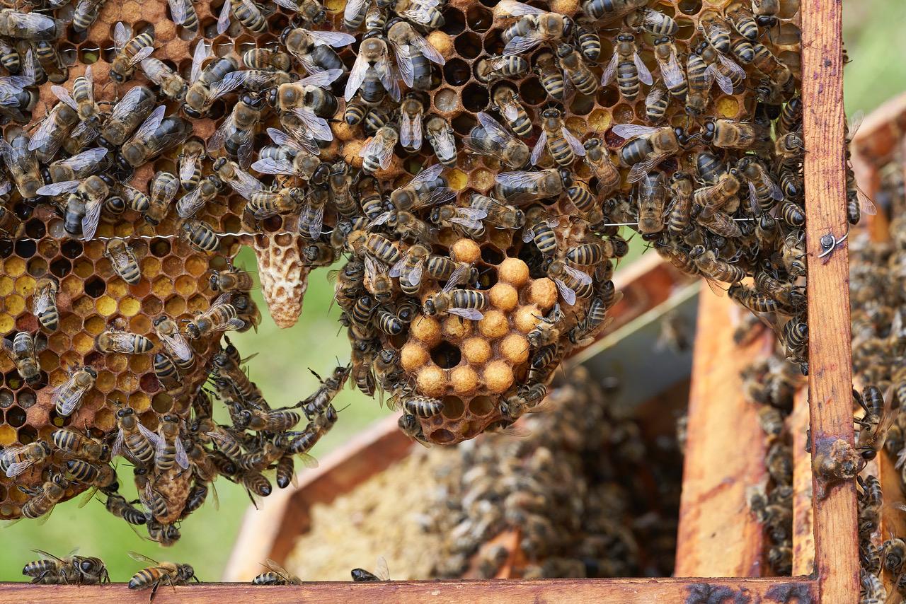 Honigbienen im Freilichtmuseum Schwerin-Mueß © Volker Janke